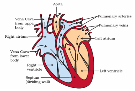 Electricity cbse 10th grade study materials radice draw a sectional view of the human heart and label the parts like aorta right ventricle and pulmonary veine b write the functions of blood and lymph ccuart Image collections